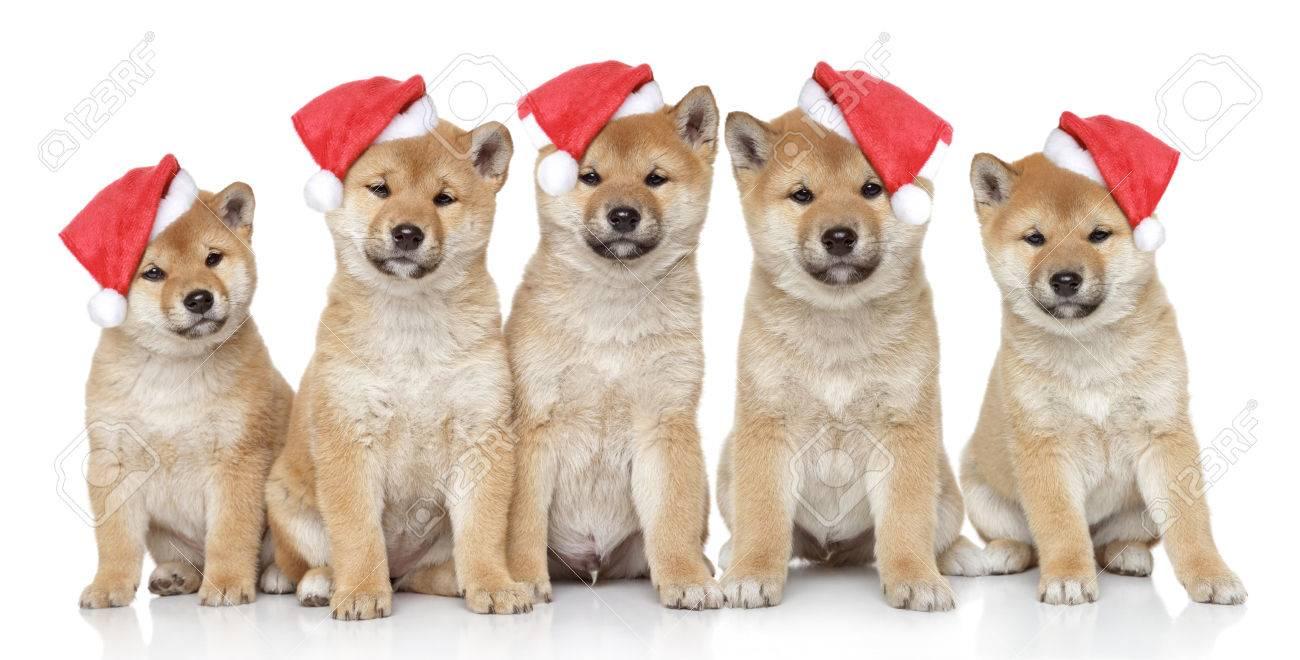Shiba Inu Welpen In Weihnachten Kappen Auf Einem Weißen Hintergrund ...