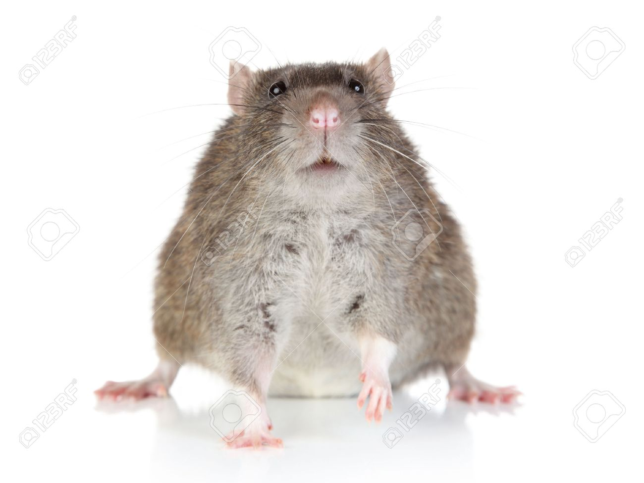 fat rat sits on a white background stock photo picture and royalty