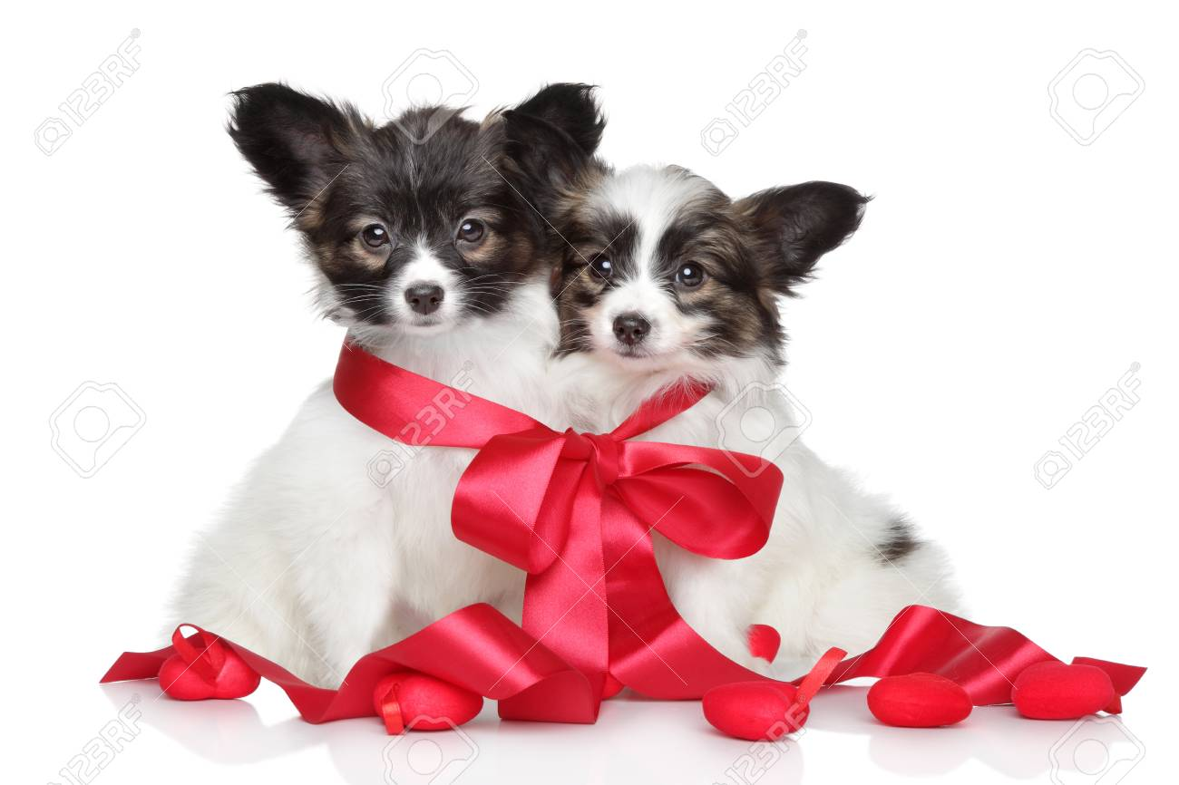 Papillon Puppies Associated Red Bow On White Background Stock Photo