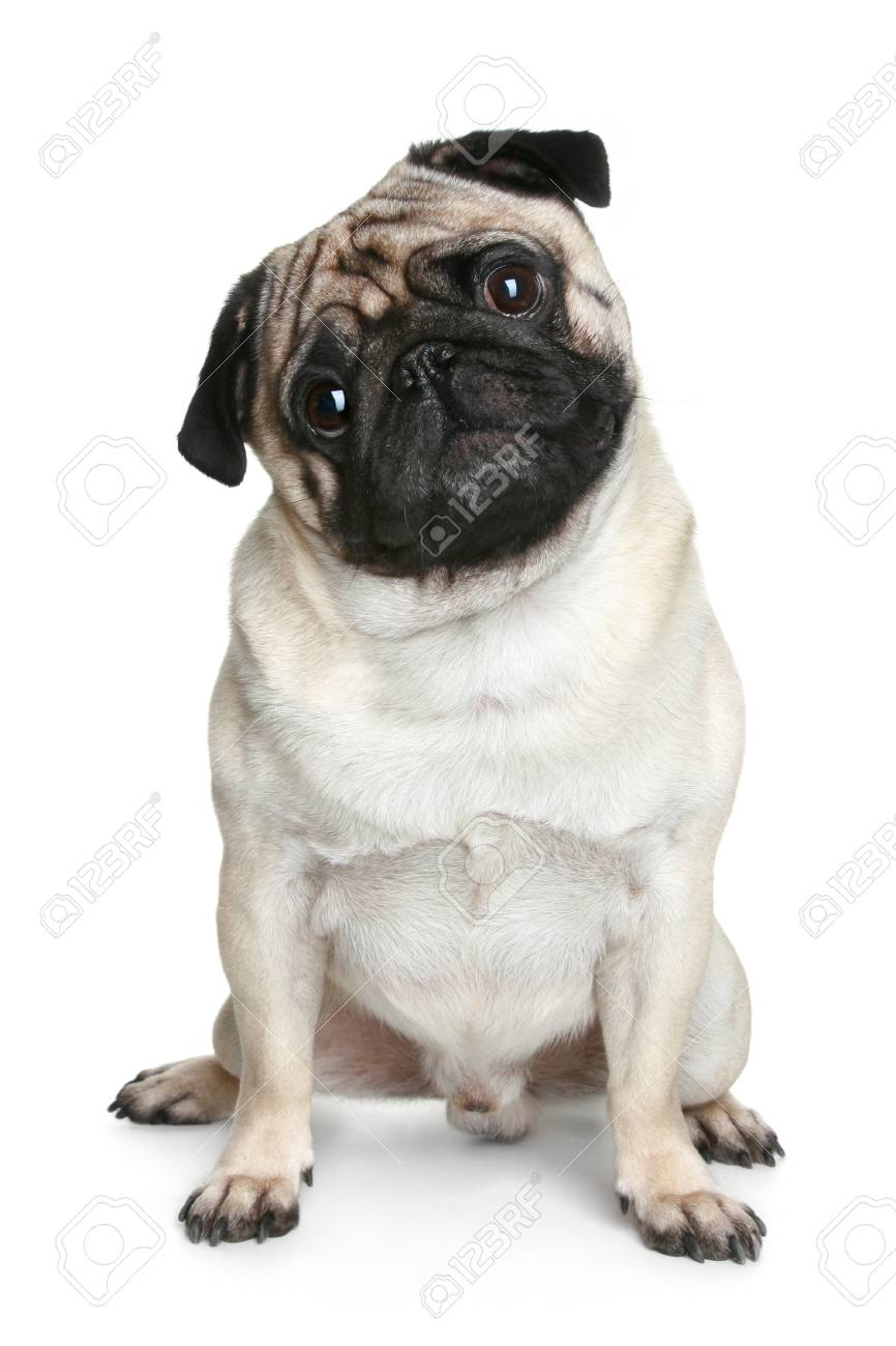 Funny Pug Puppy Sitting On A White Background Stock Photo Picture And Royalty Free Image Image 25699001