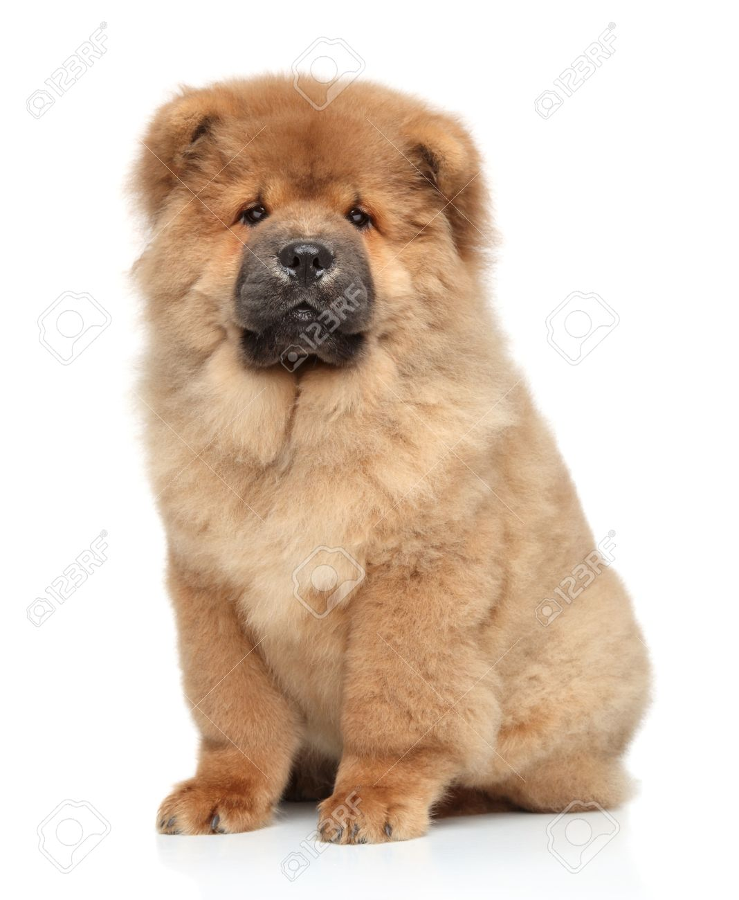 Brown Chow Chow Puppy Portrait On White Background Stock Photo