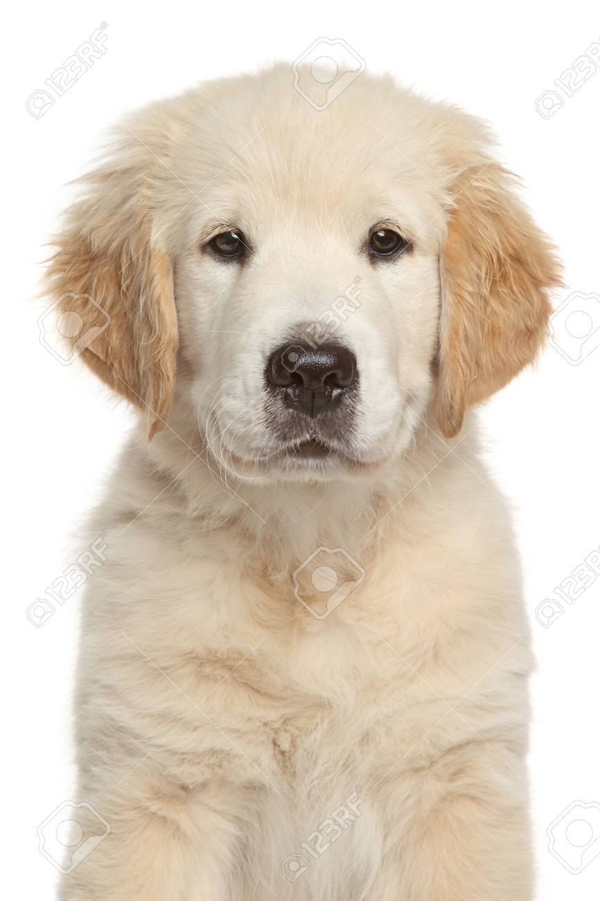 Golden Retriever Puppy 3 Month Isolated On White Backgroud Stock
