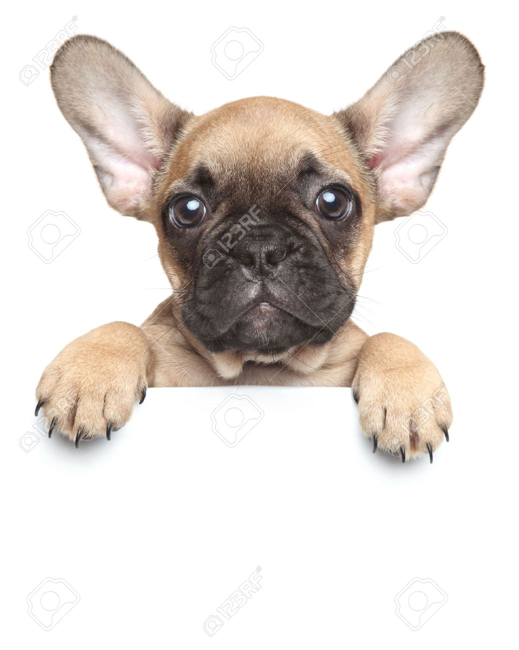 Funny French Bulldog Puppy Over A White Banner Stock Photo Picture