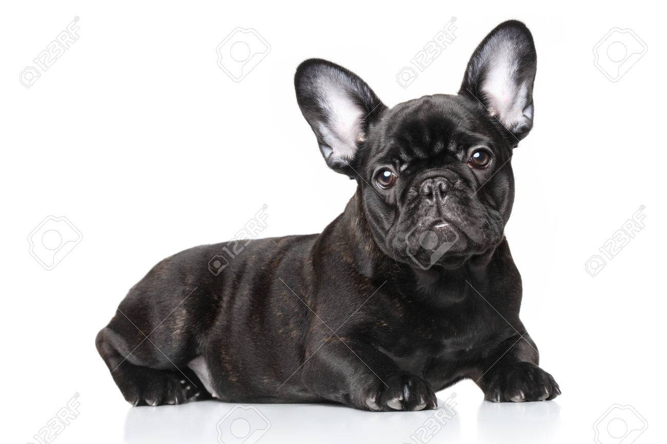 Black French Bulldog Puppy Lying Against White Background Stock Photo Picture And Royalty Free Image Image 35259021