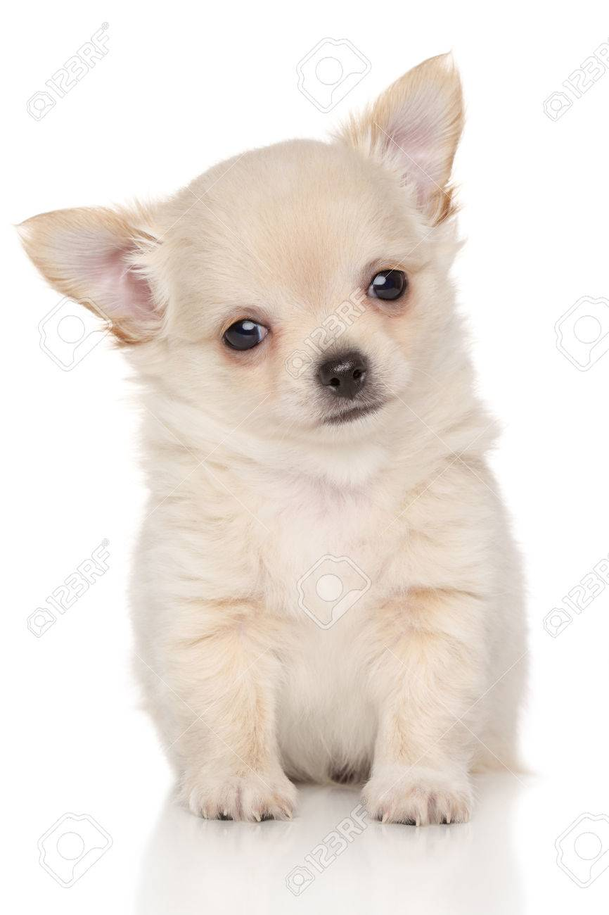 Long Haired Chihuahua Puppy In Front Of White Background
