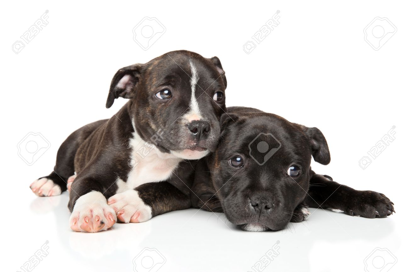 Ongekend Staffordshire Bull Terrier Puppies Resting In Front Of White TF-88