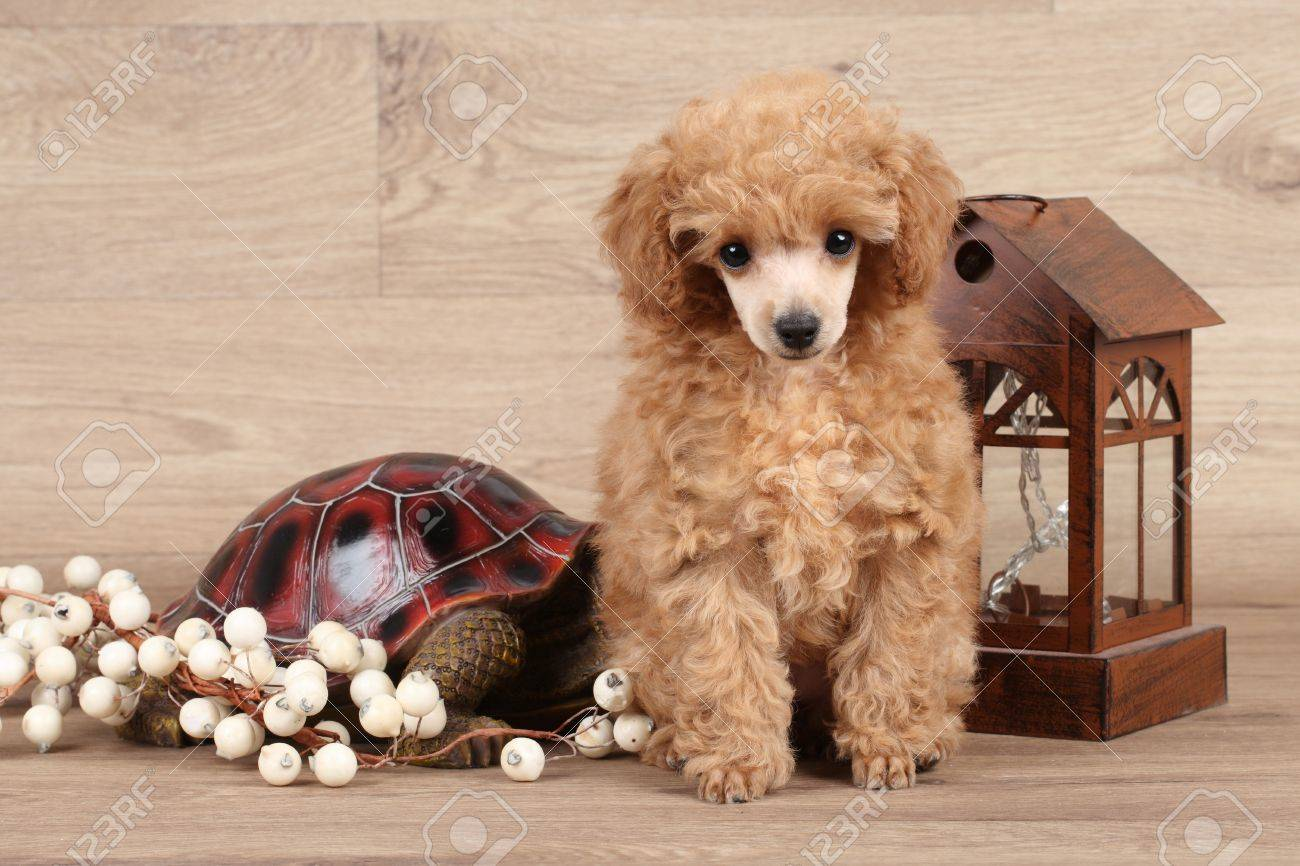 Red Poodle Puppy Posing On Wooden Background Stock Photo Picture And Royalty Free Image Image 48623322
