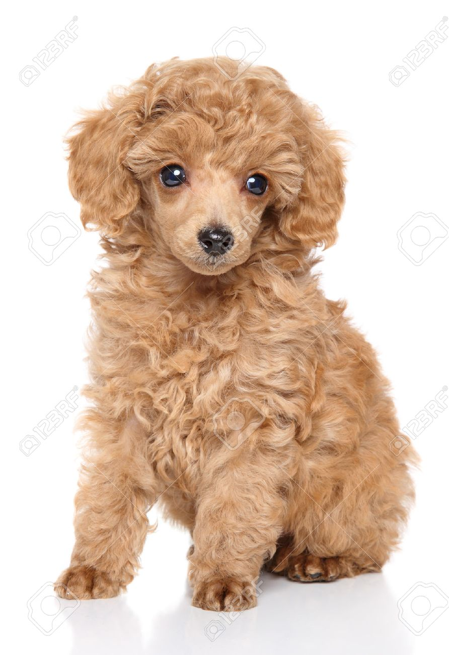 Apricot Toy Poodle Puppy Sits In Front Of White Background Stock