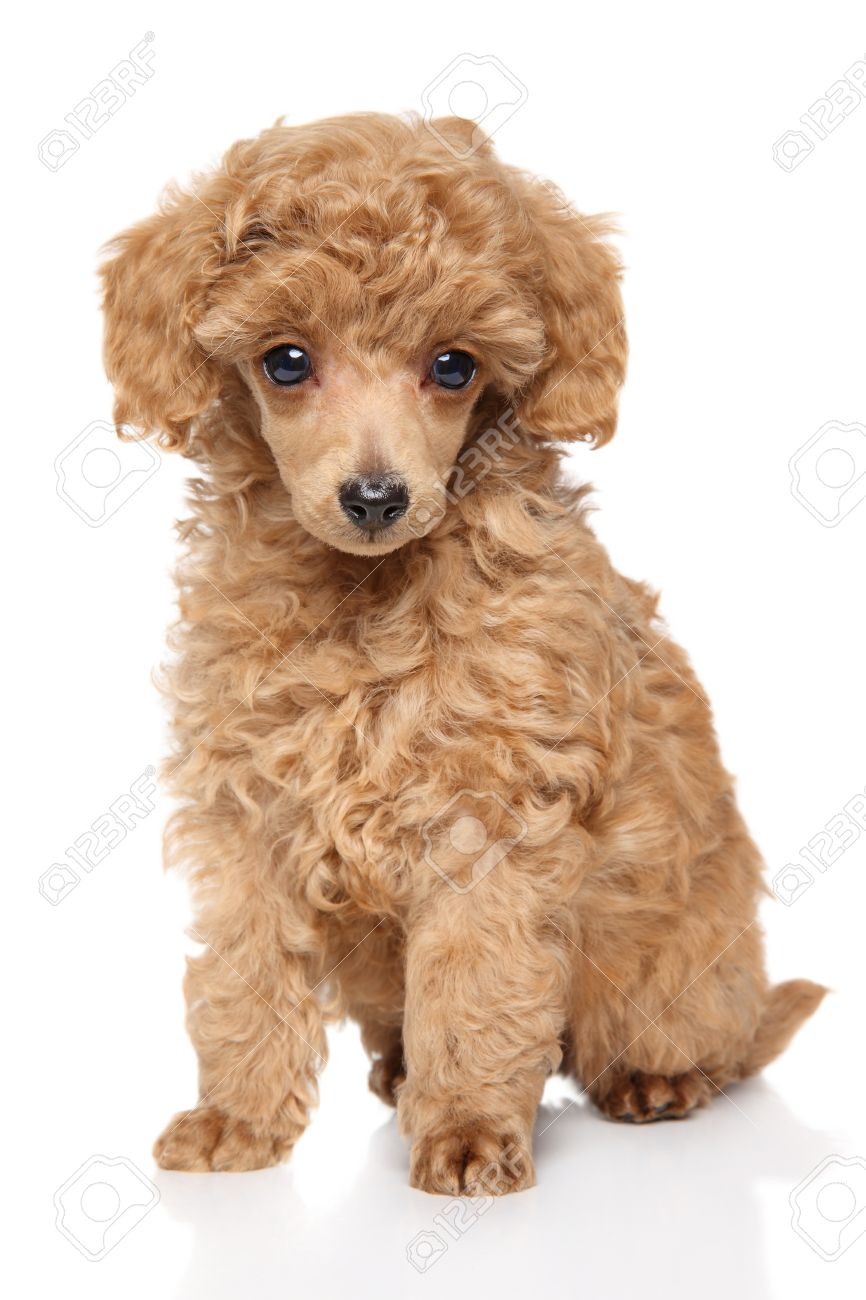 Toy Poodle Puppy On White Background Stock Photo Picture And Royalty Free Image Image 51551858