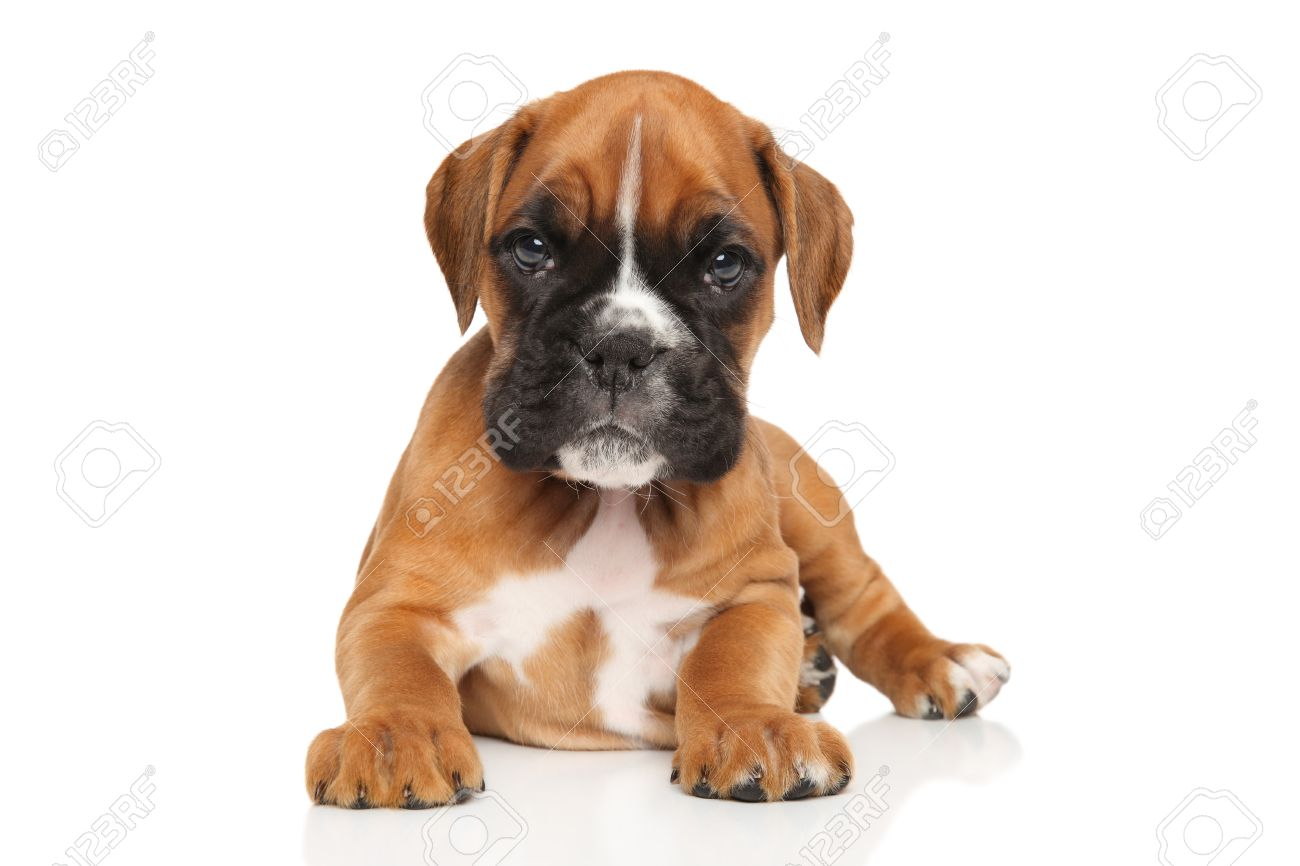 German Boxer Puppy On White Background Stock Photo Picture And Royalty Free Image Image 58086288