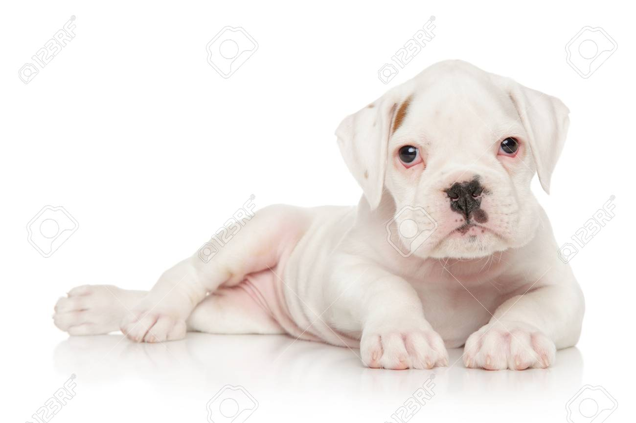 Portrait Of A German Boxer Puppy On White Background Stock Photo Picture And Royalty Free Image Image 58086310