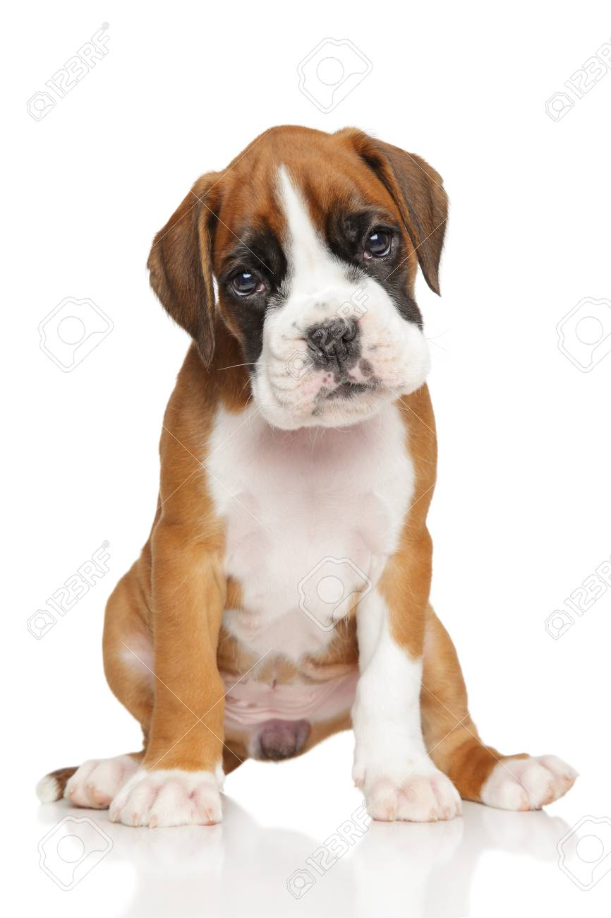 Portrait Of A German Boxer Puppy On White Background Stock Photo Picture And Royalty Free Image Image 58086315