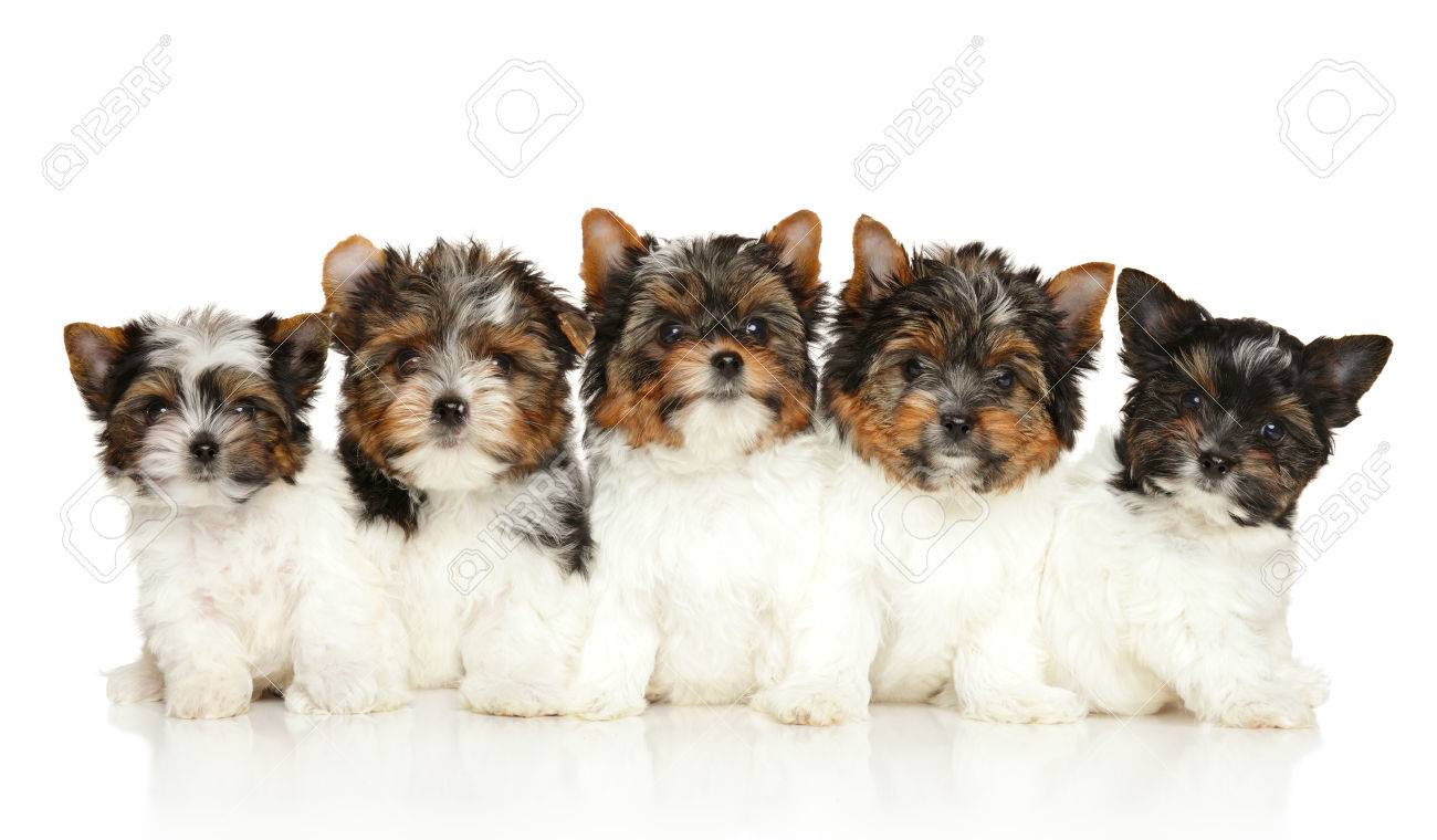 Group Of Biewer Yorkie Puppies On White Background Stock Photo