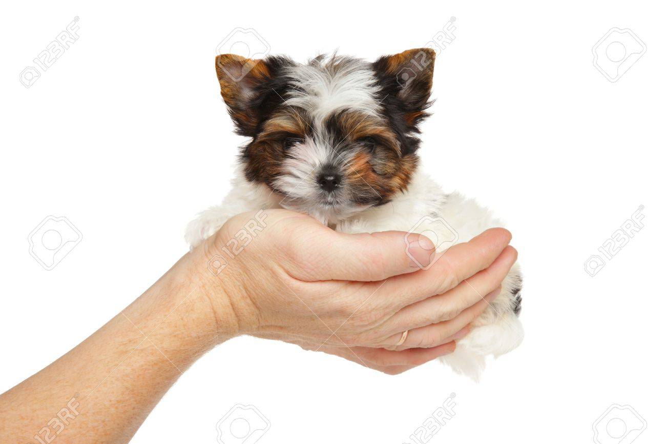 Biewer Yorkshire Terrier Puppy In Hand On A White Background Stock