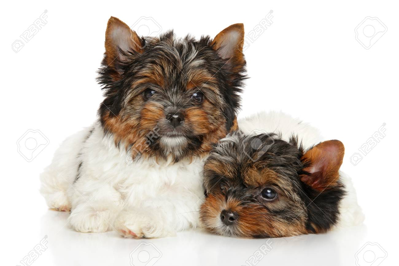 Biewer Yorkshire Terrier Puppies In Front Of White Background Stock
