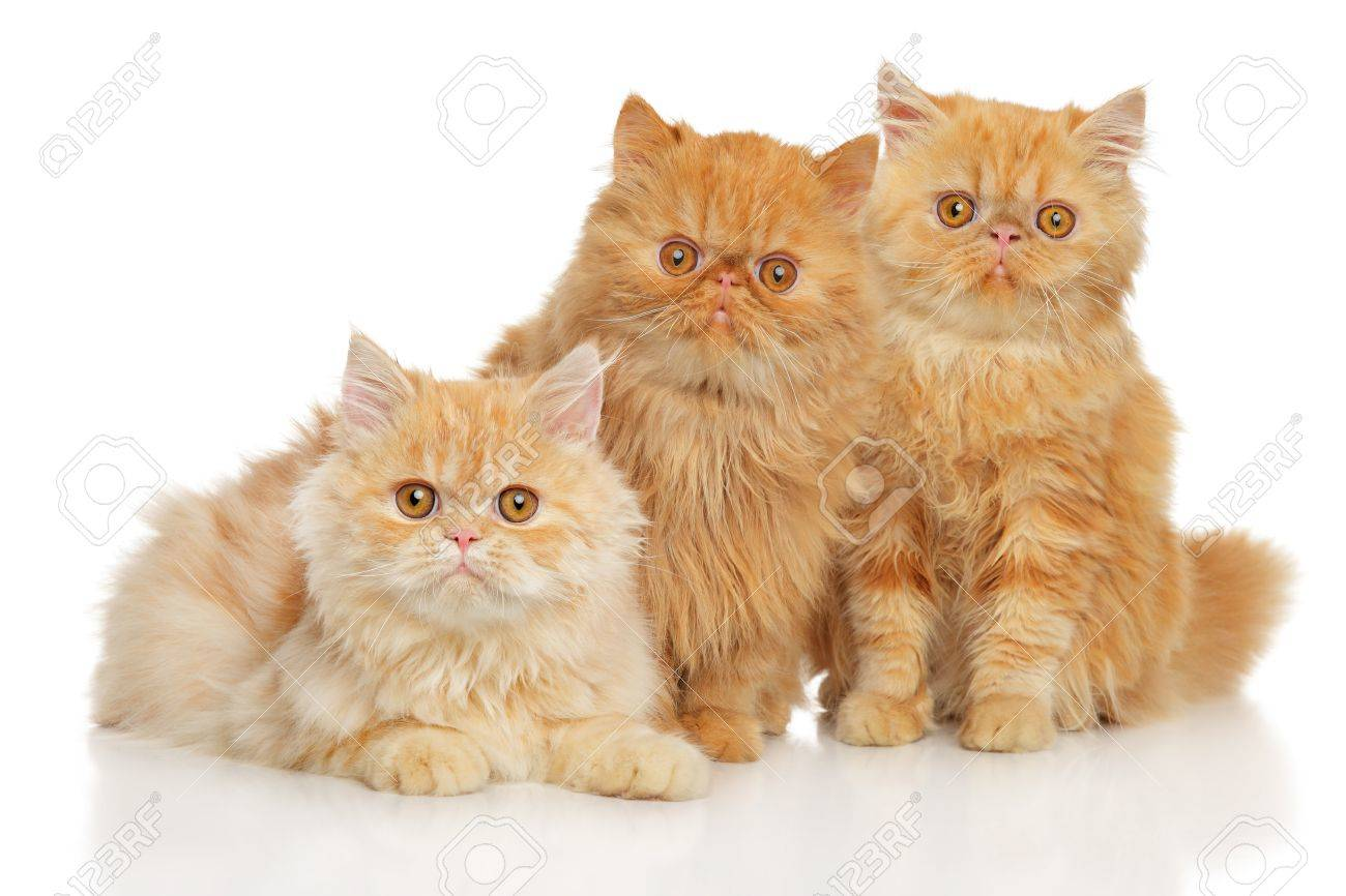 Group Of Persian Cats On White Background Stock Photo, Picture And ...