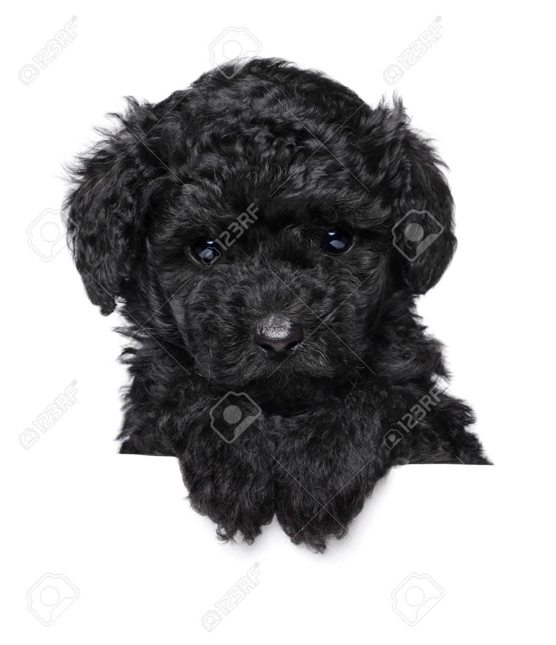 Black Toy Poodle Puppy Above Banner Isolated On White Background Stock Photo Picture And Royalty Free Image Image 87996899
