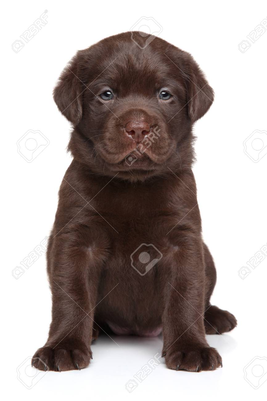 Cute Chocolate Labrador Puppy Sits In Front Of White Background Stock Photo Picture And Royalty Free Image Image 102031489