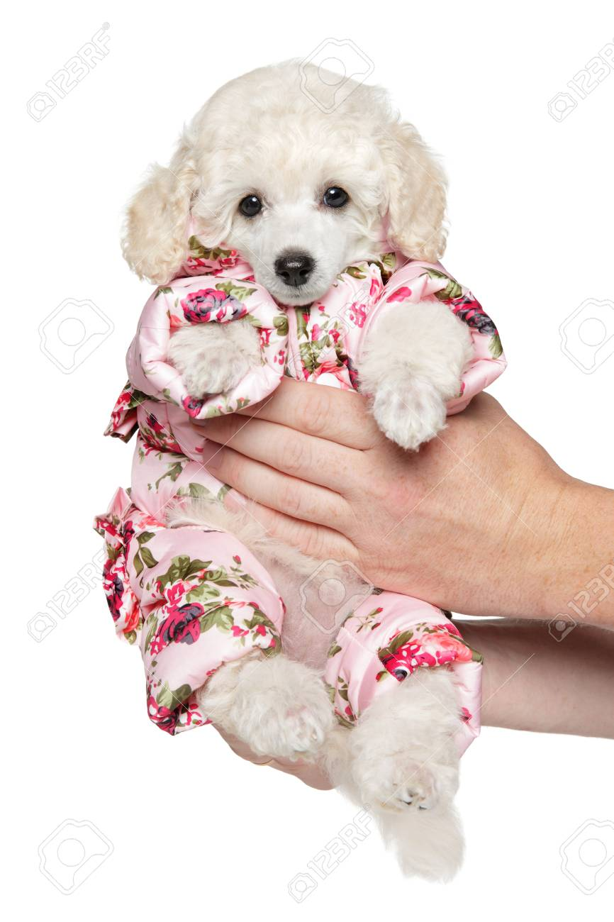 Cute White Toy Poodle Puppy In Fashionable Clothes Holding In Stock Photo Picture And Royalty Free Image Image 103958023