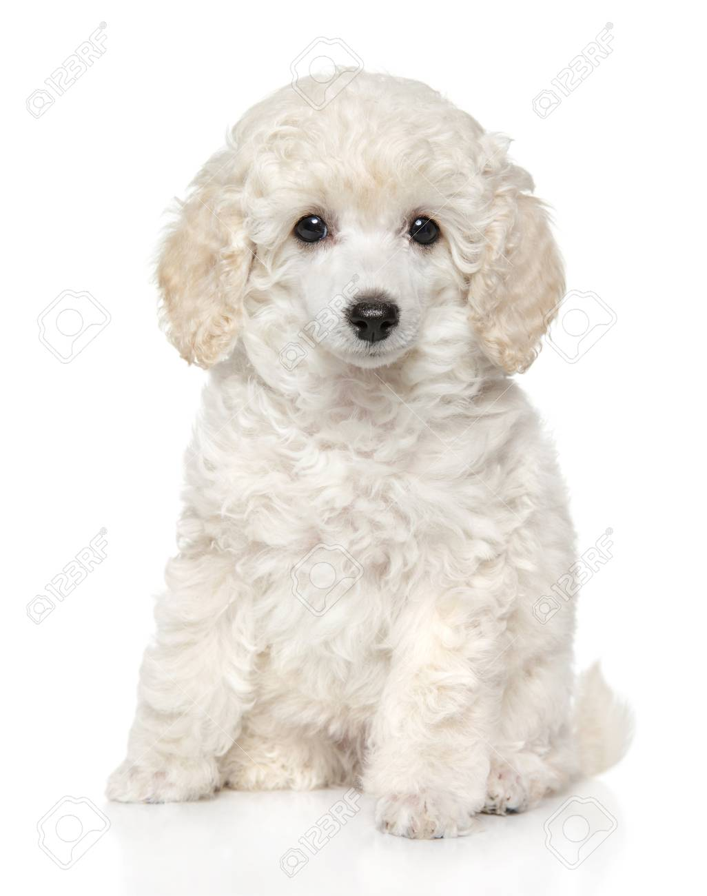 Cute Toy Poodle Puppy Sits In Front Of White Background Baby Stock Photo Picture And Royalty Free Image Image 103958026