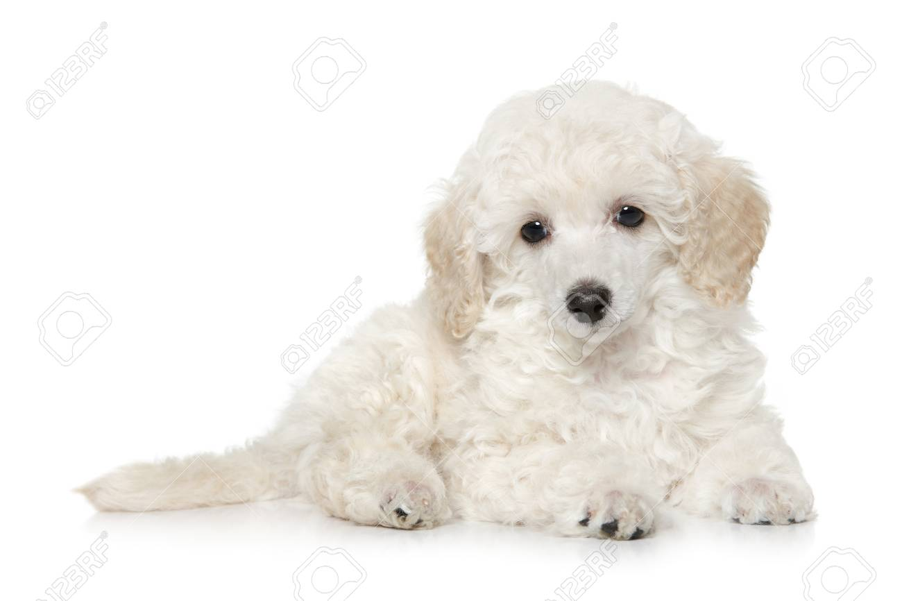White Toy Poodle Puppy Lying On White Background Baby Animal Stock Photo Picture And Royalty Free Image Image 103958078