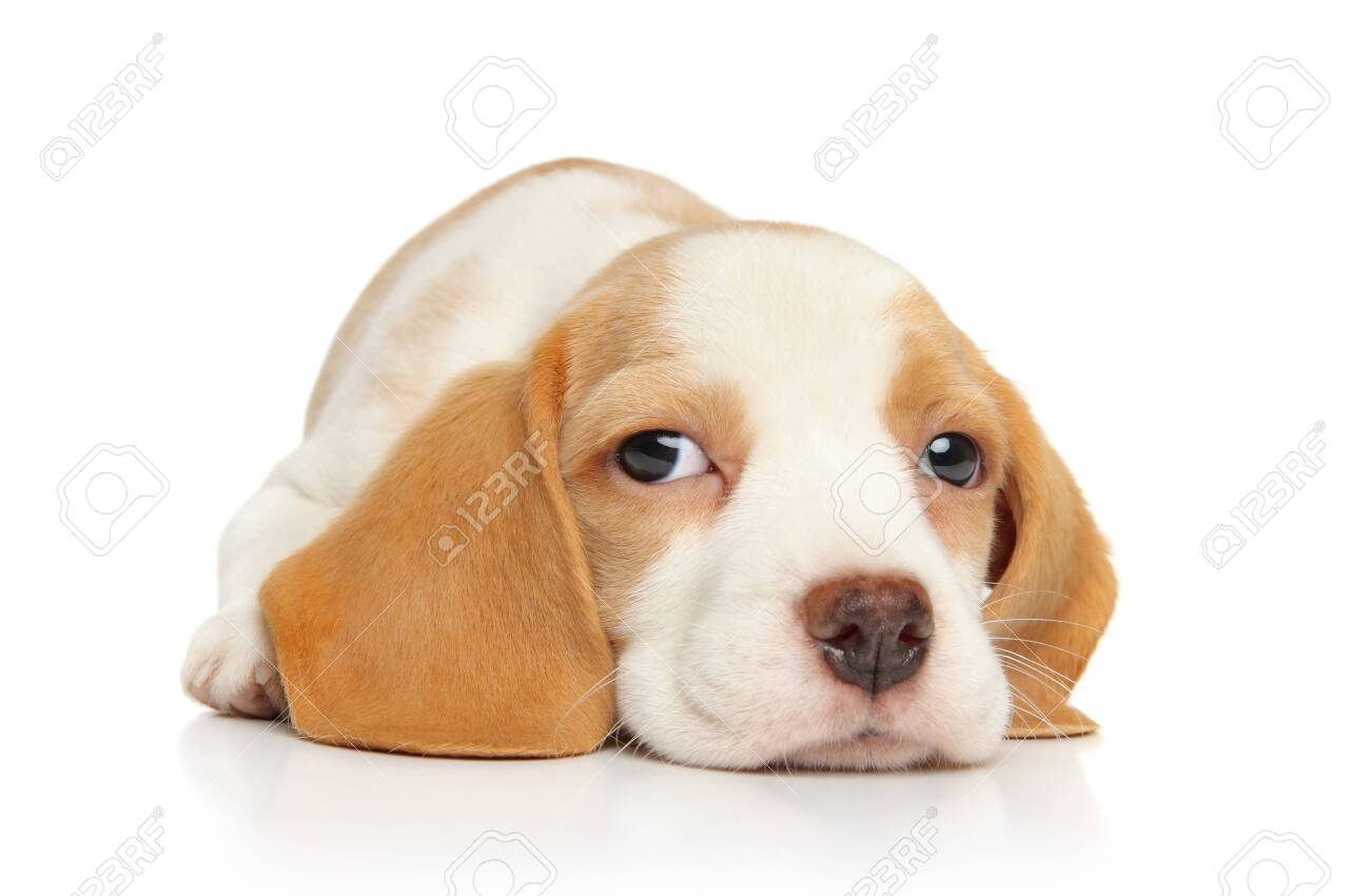 Funny Beagle Puppy On White Background Baby Animal Theme Stock Photo Picture And Royalty Free Image Image 109313935