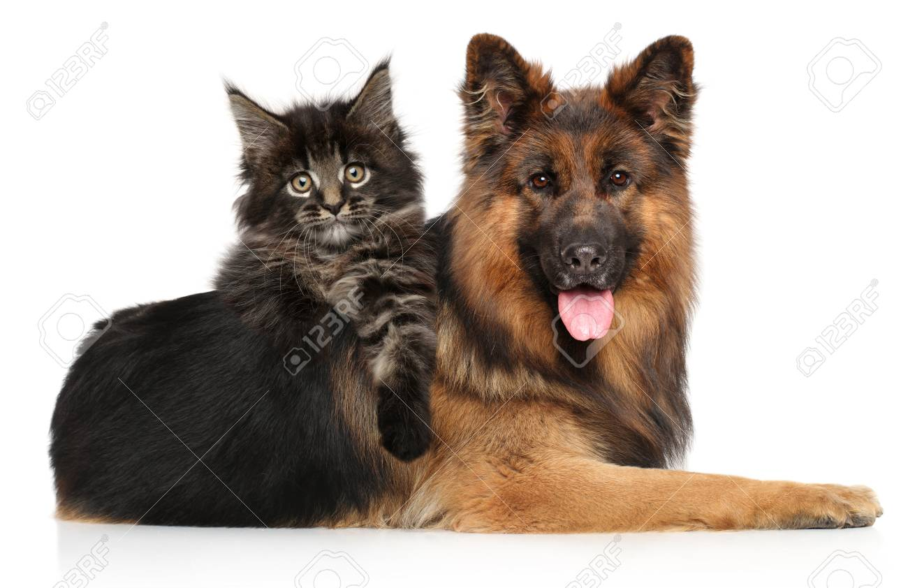 Cat With Dog Together Maine Coon Kitten Posing Riding A German