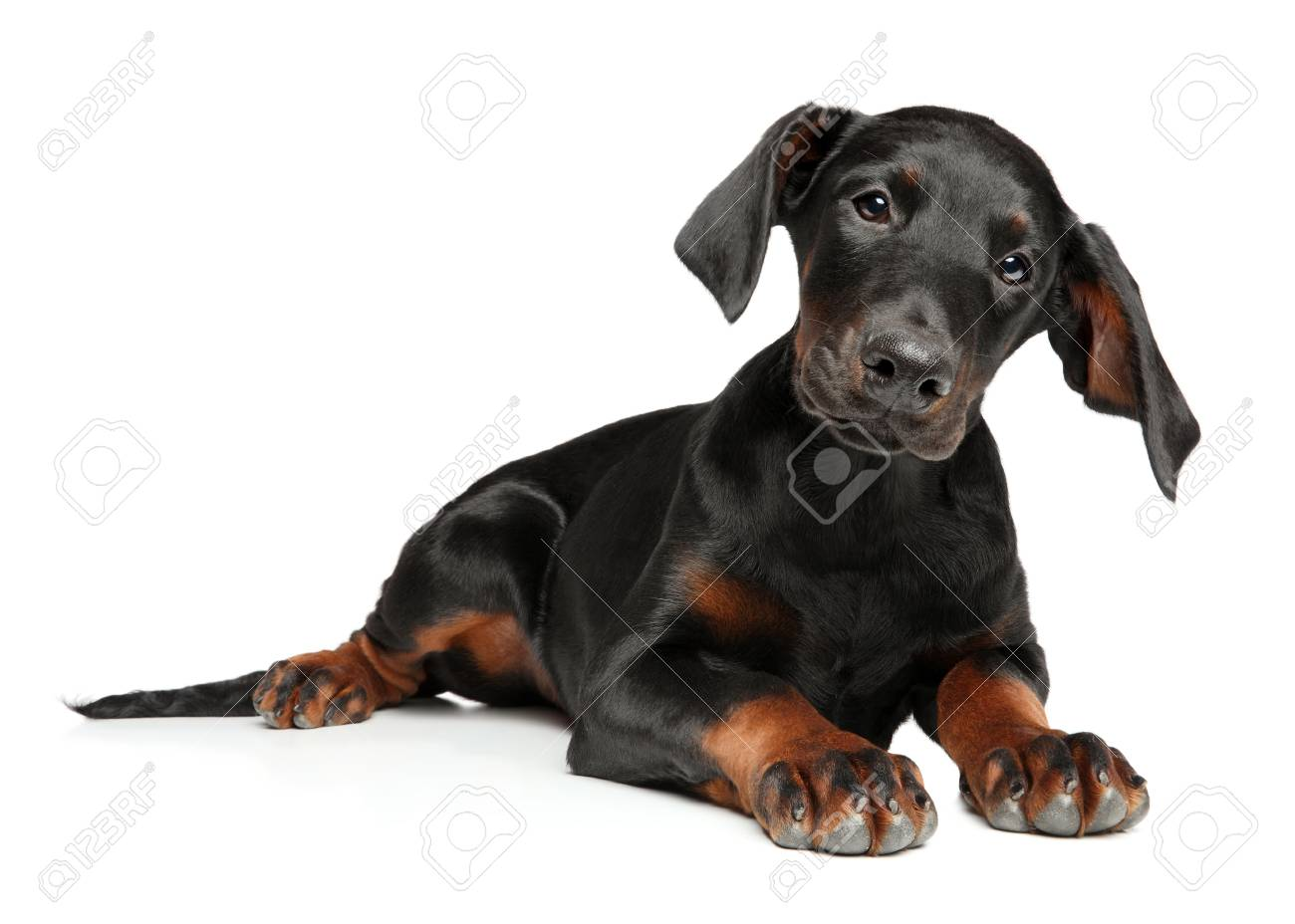 Portrait Of A Surprised Young Doberman Puppy Lying On A White Stock Photo Picture And Royalty Free Image Image 113798841
