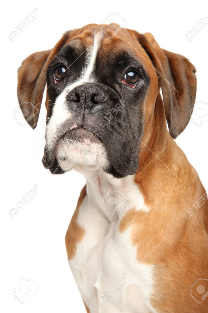 Portrait Of Cute Boxer Dog Puppy Isolated On White Background Stock Photo Picture And Royalty Free Image Image 113798933