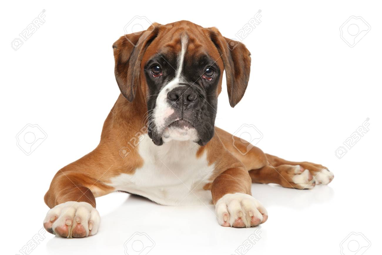 Portrait Of Beautiful German Boxer Puppy On White Background Stock Photo Picture And Royalty Free Image Image 117394413