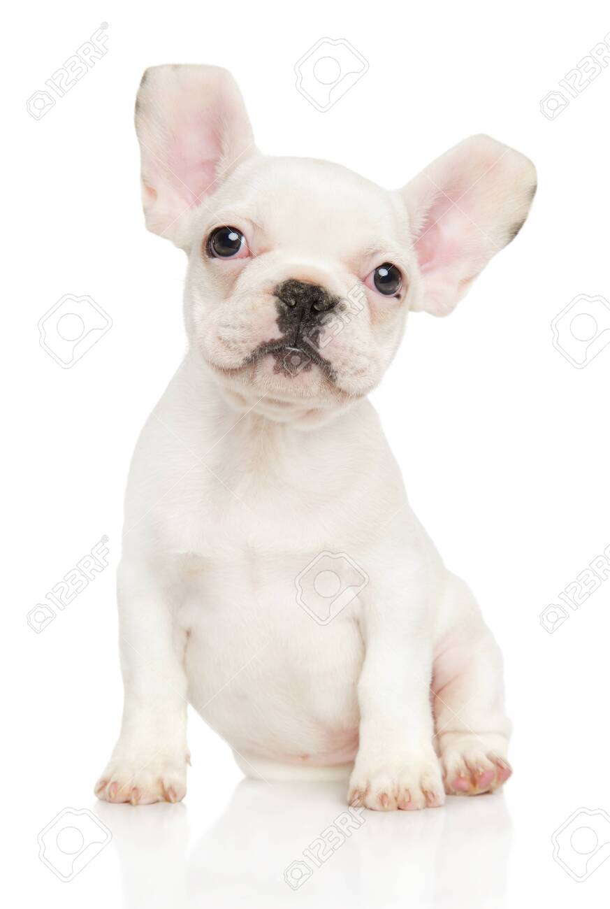 White French Bulldog Puppy Sits On White Background Baby Animal Stock Photo Picture And Royalty Free Image Image 117255642