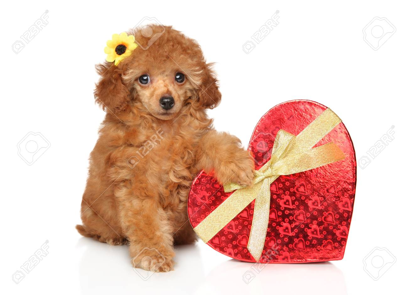 Toy Poodle Puppy With Red Heart On A White Background Baby Animal Stock Photo Picture And Royalty Free Image Image 117255654