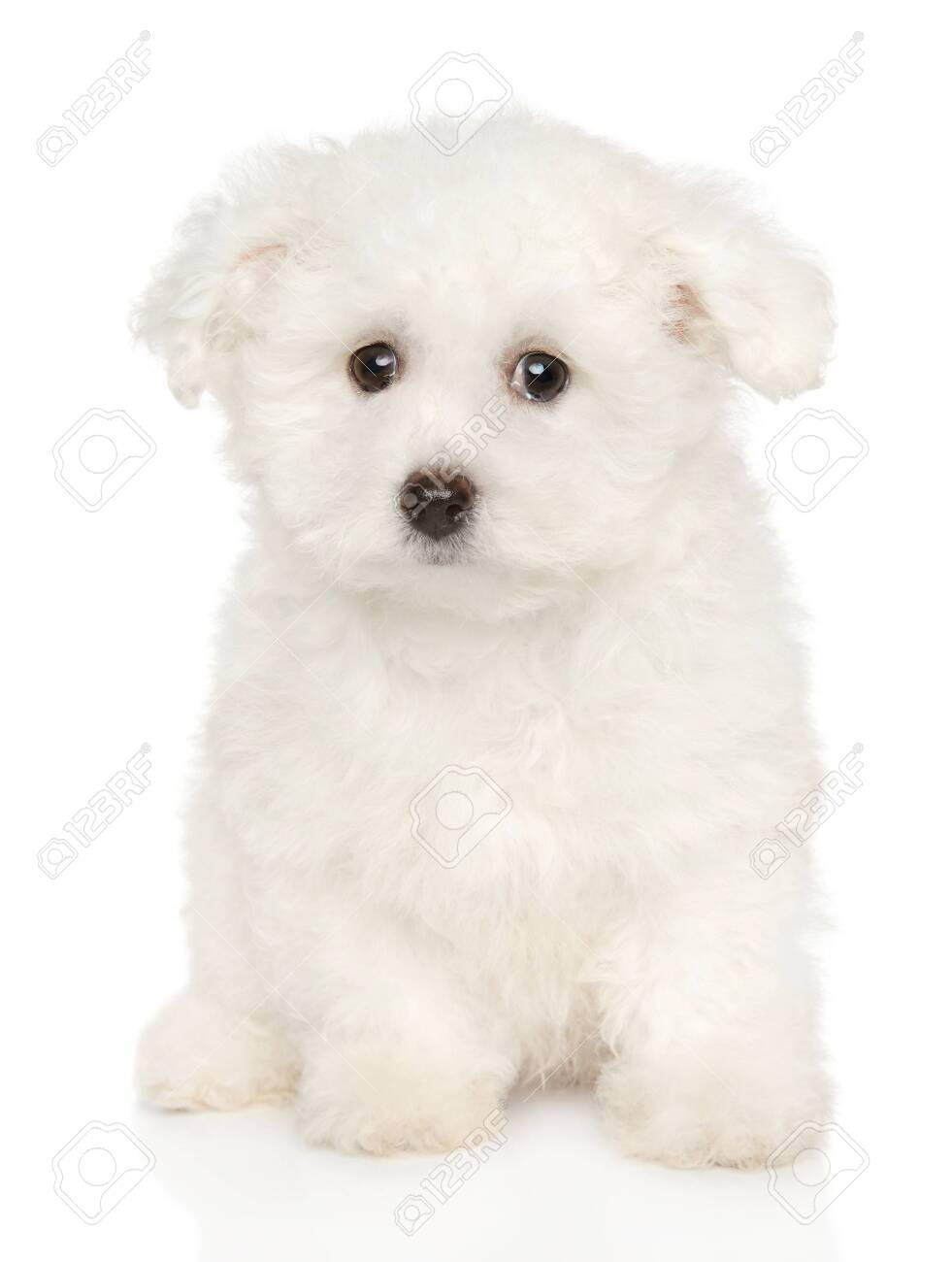 Cute Bichon Frise Puppy Sits On White Background Baby Animal Stock Photo Picture And Royalty Free Image Image 119876534