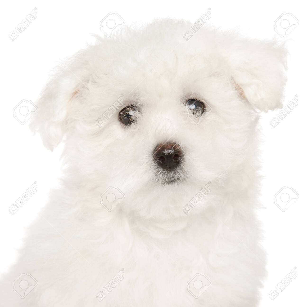 Portrait Of Bichon Frise Puppy On White Background Baby Animal Stock Photo Picture And Royalty Free Image Image 119876623