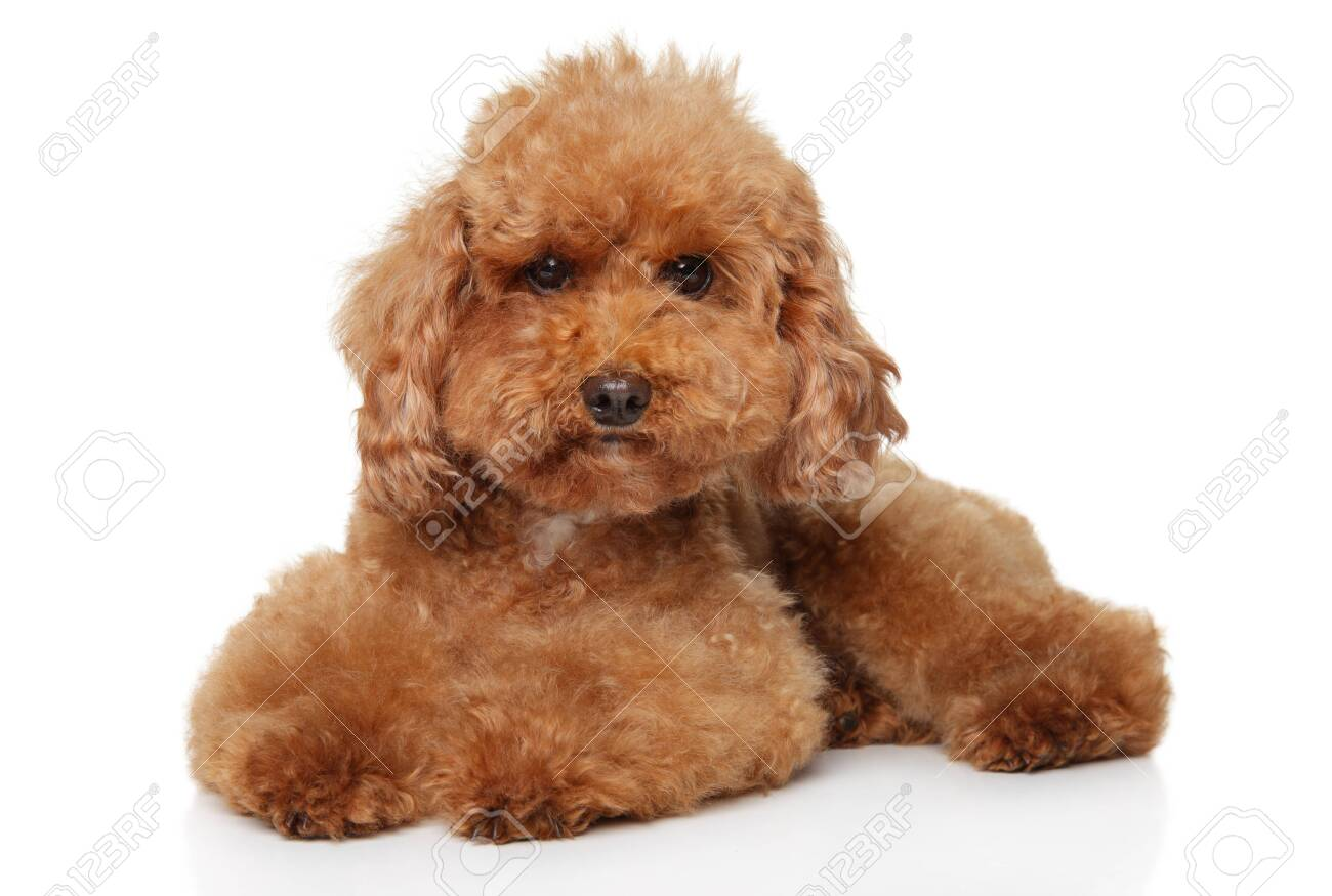 Funny Red Toy Poodle Puppy Lying On White Background Stock Photo Picture And Royalty Free Image Image 126113240