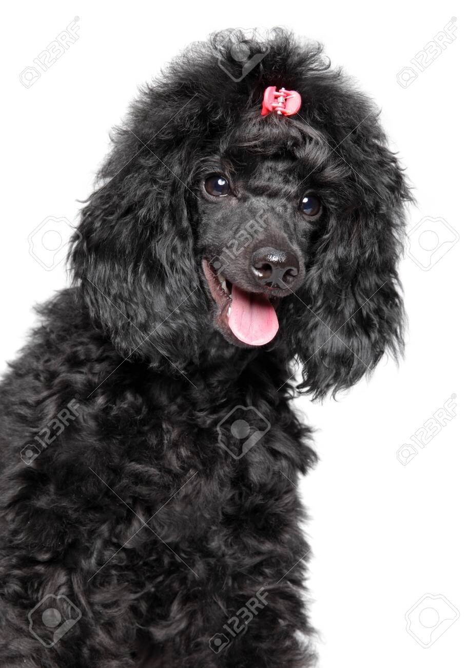 Black Poodle Puppy Close Up Portrait On A White Background Stock Photo Picture And Royalty Free Image Image 126113295