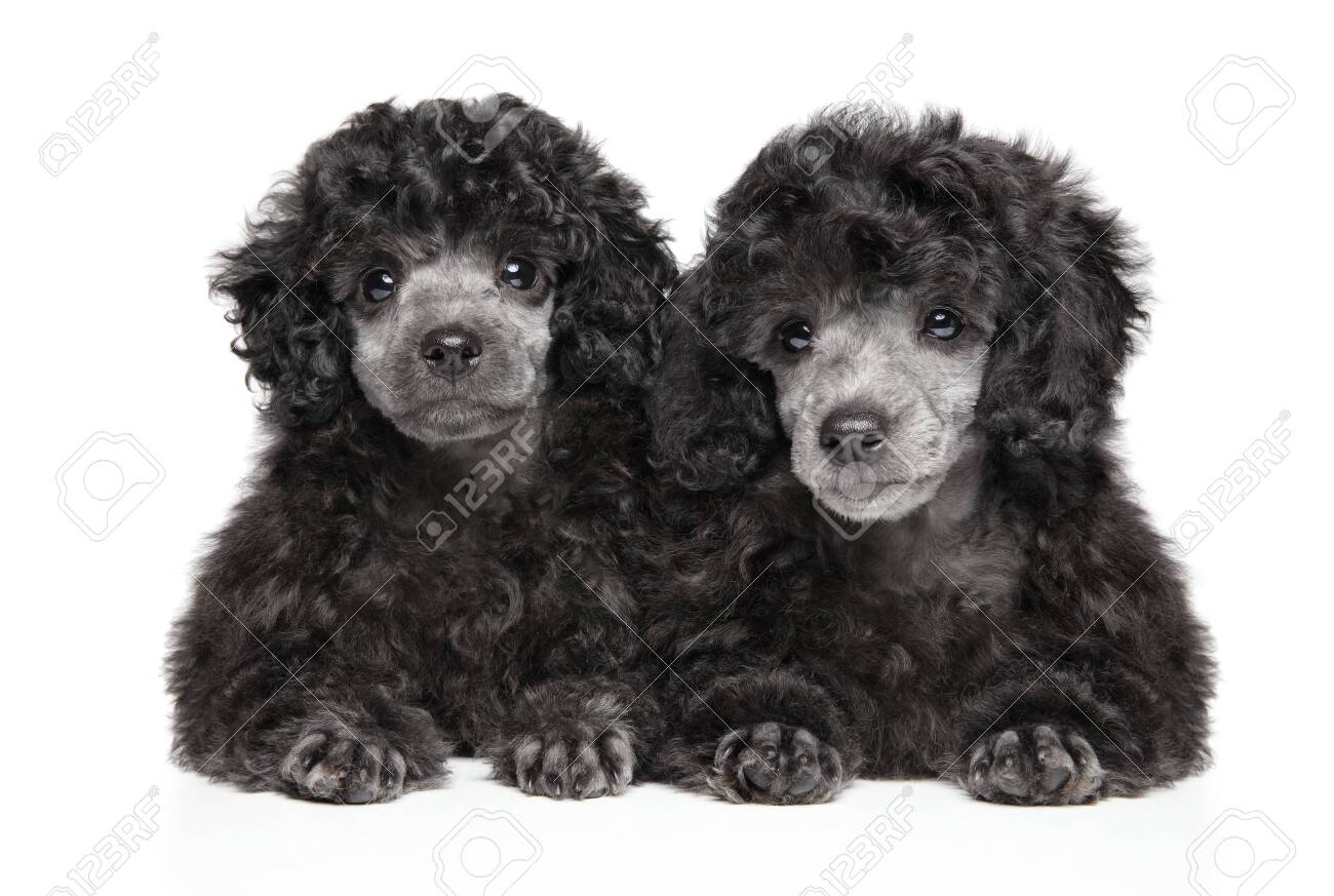 Two Gray Toy Poodle Puppies Lying On White Background Front Stock Photo Picture And Royalty Free Image Image 128555414