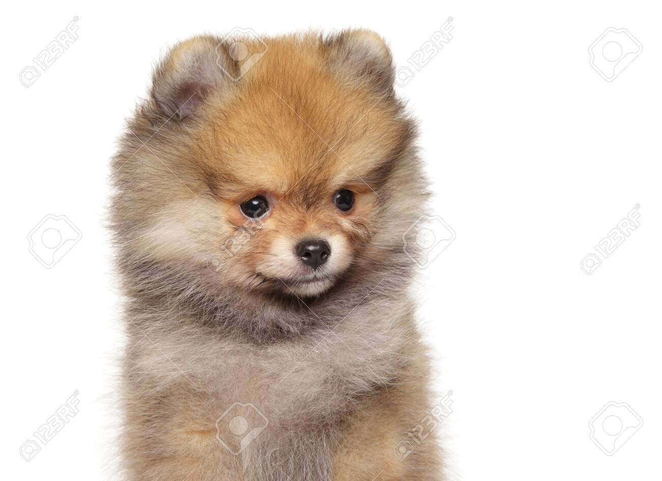 Close-up portrait of a Pomeranian Spitz puppy on white background. The theme of baby animals - 129951692