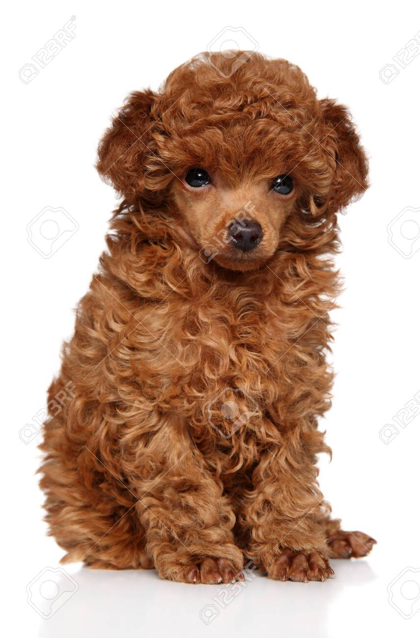 Cute Red Toy Poodle Puppy Sits On White Background Baby Animal Stock Photo Picture And Royalty Free Image Image 135378149