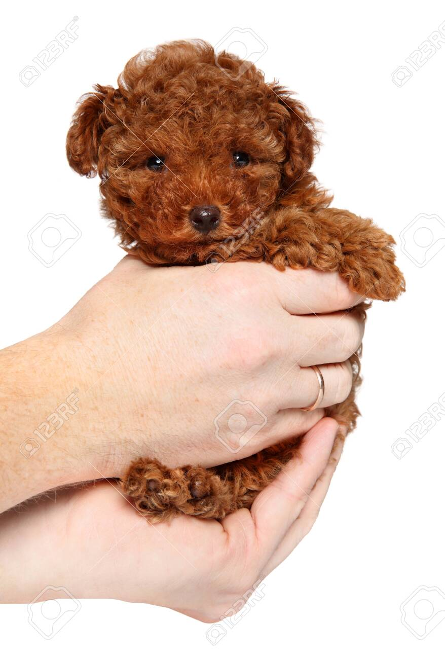 Man Holds Toy Poodle Puppy In Hands On White Background The Stock Photo Picture And Royalty Free Image Image 135508226