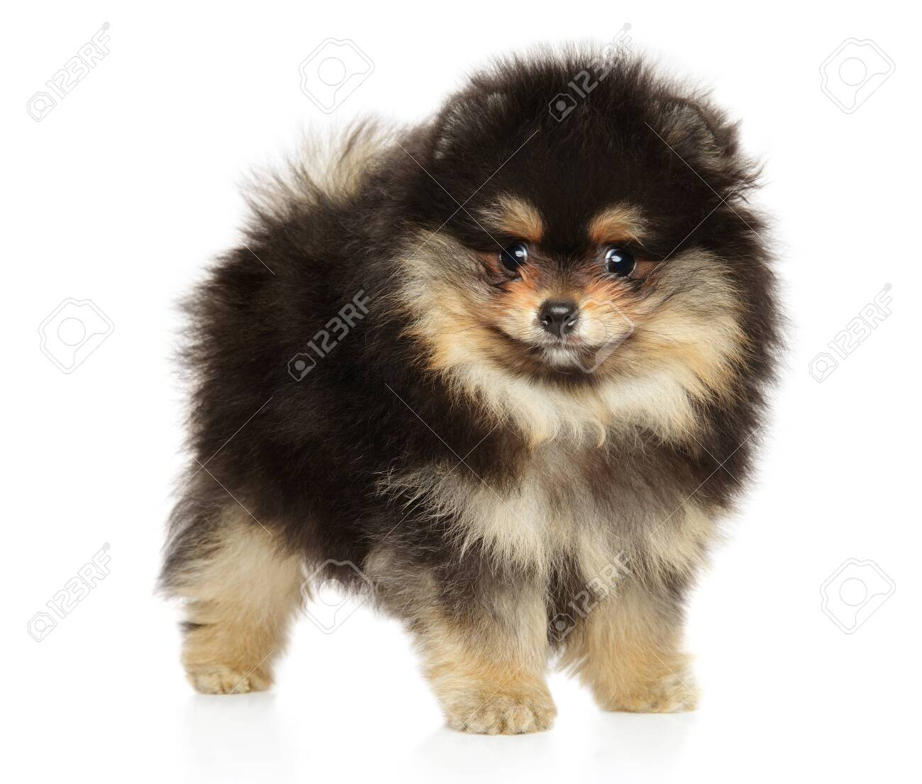 Pomeranian Puppy In A Stand On A White Background Baby Animal Stock Photo Picture And Royalty Free Image Image 143464596