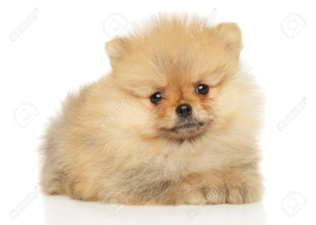 Cute Pomeranian Puppy Lying On A White Background The Theme Stock Photo Picture And Royalty Free Image Image 150450121