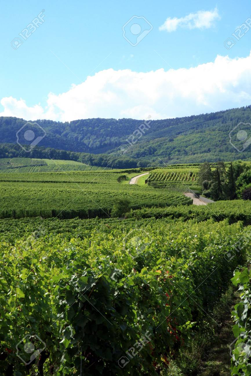 Route des vines in Alsace - France. Vineyard. Stock Photo - 3665784