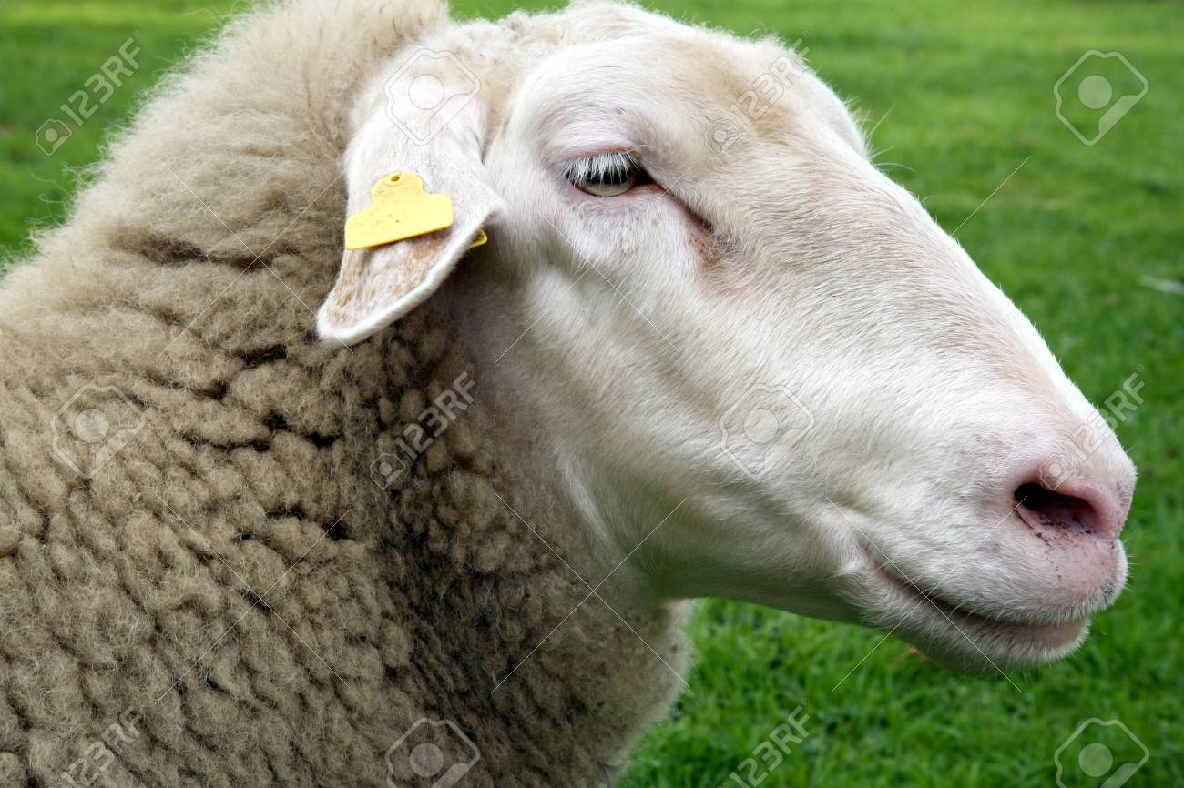 One white sheep on green grass Stock Photo - 4432881