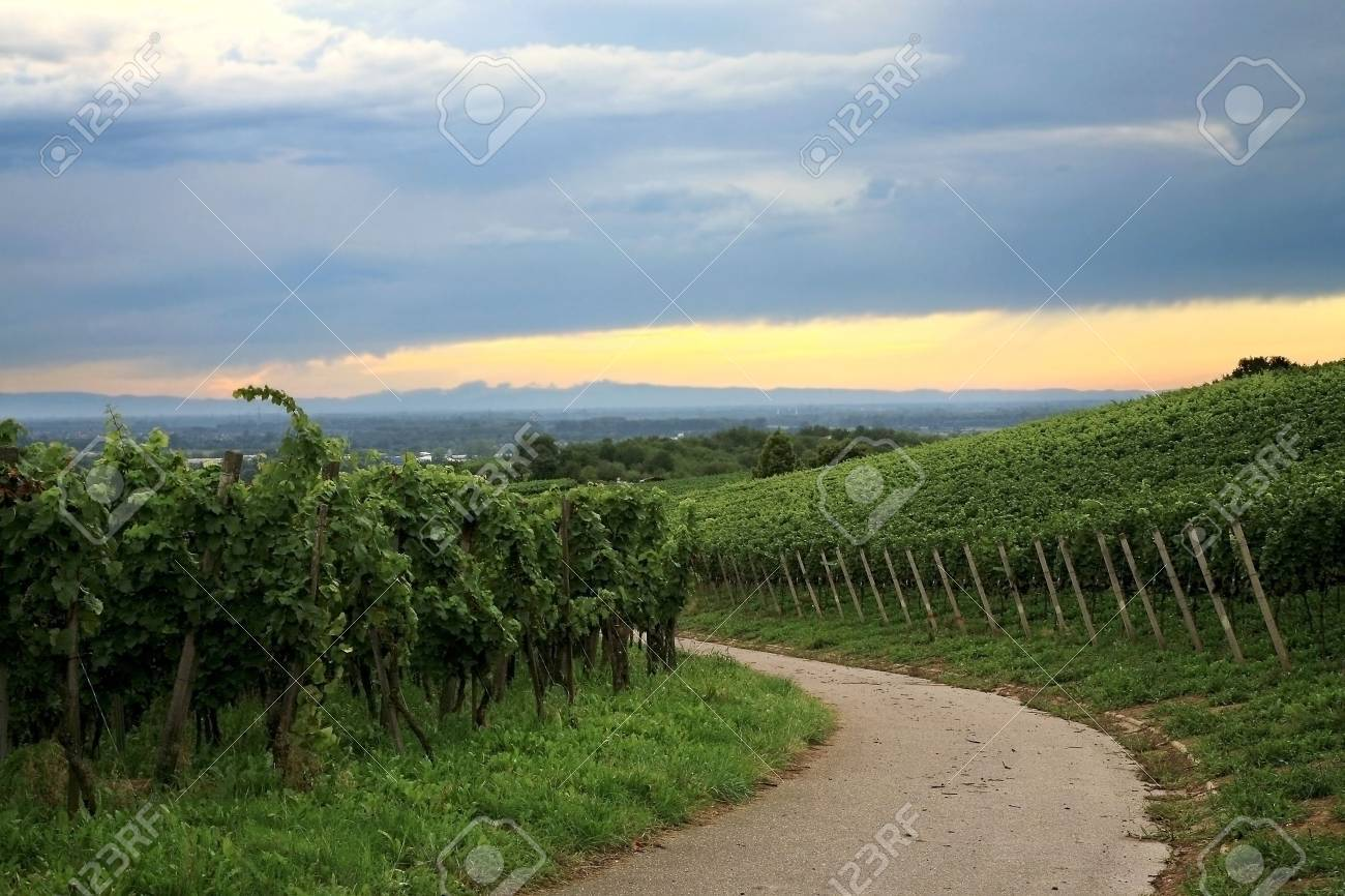 Vineyard in Schwarzwald near Baden-Baden spa � west Germany Stock Photo - 4908366
