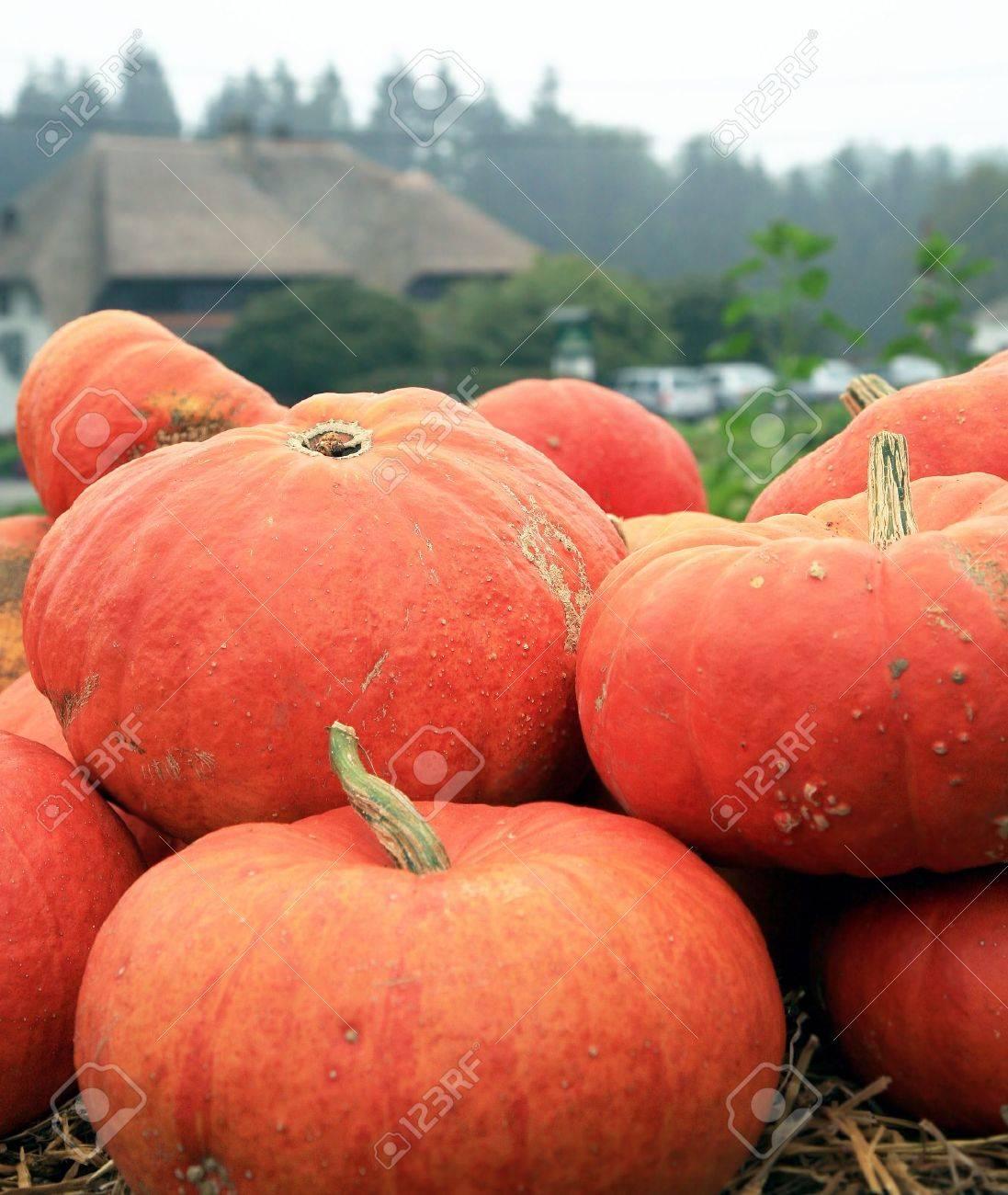 Halloween In Belgie.Oranje Pompoenen Op Het Stro Voor Halloween Day Herfst Gewassen Feest Van De Pompoen In Belgie