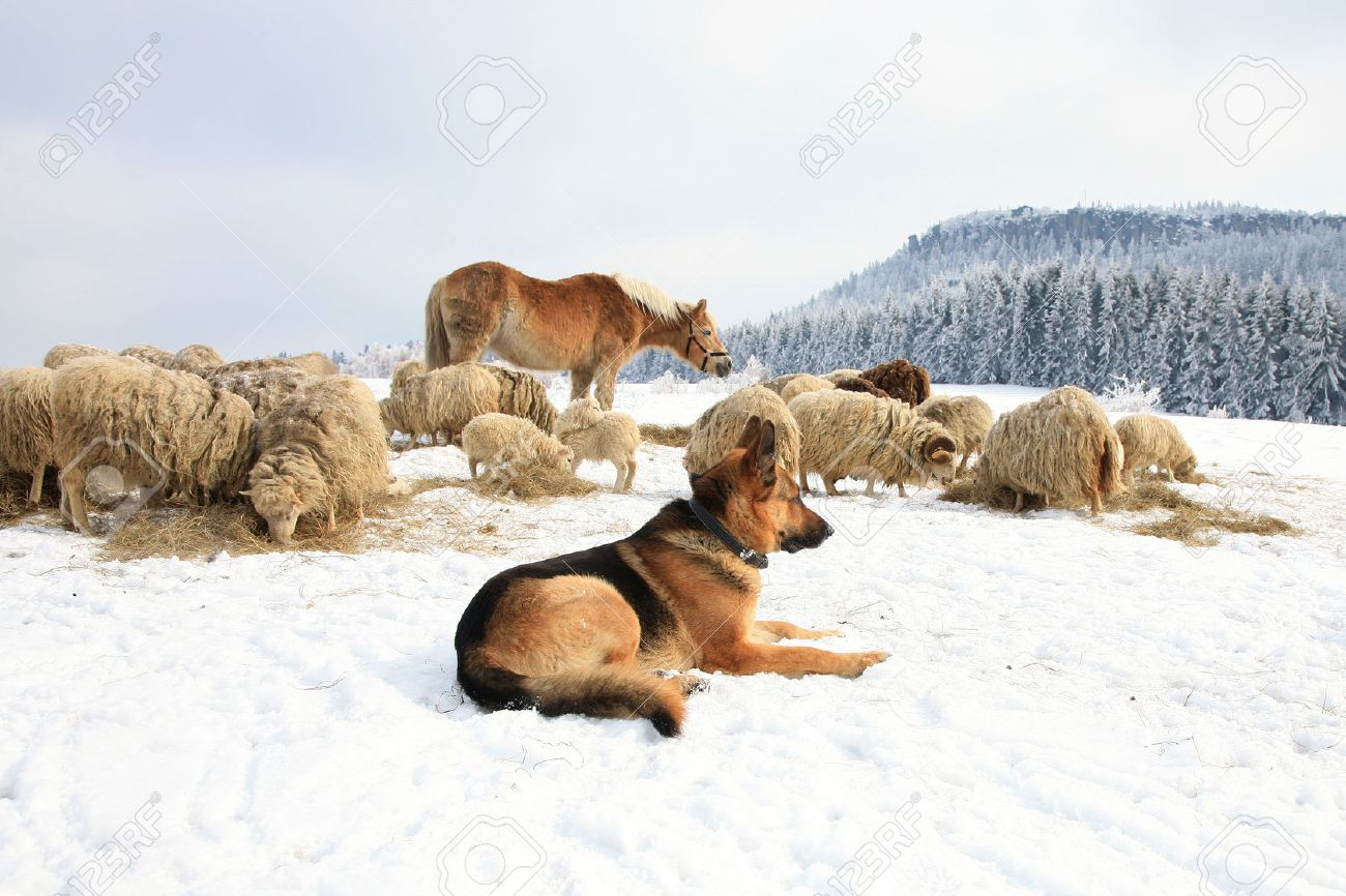 https://previews.123rf.com/images/fotokate/fotokate1311/fotokate131100005/23853643-German-Shepherd-guarding-herd-of-sheep-feeding-Skudde-Winter-on-the-farm-Stock-Photo.jpg