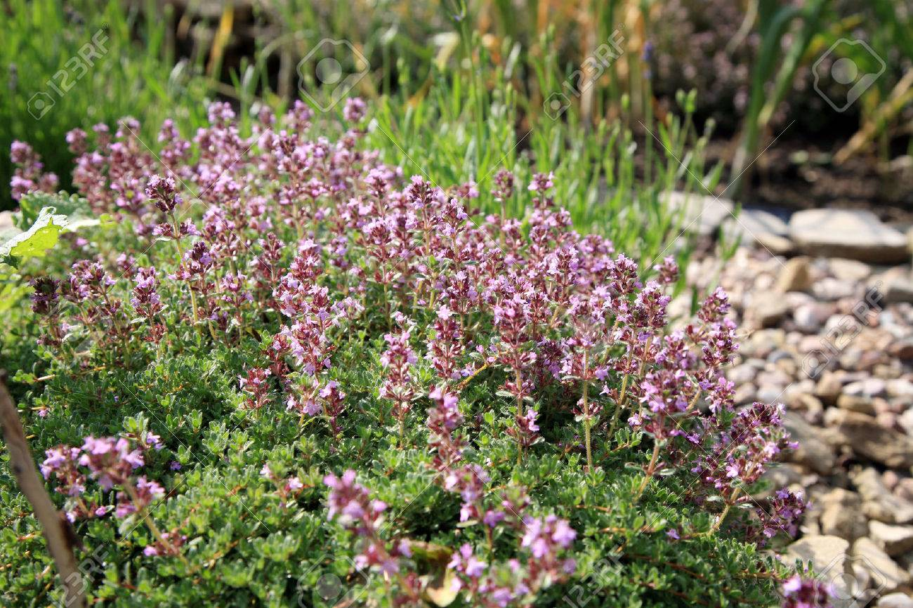 breckland thyme wild thyme in eco friendly backyard formal