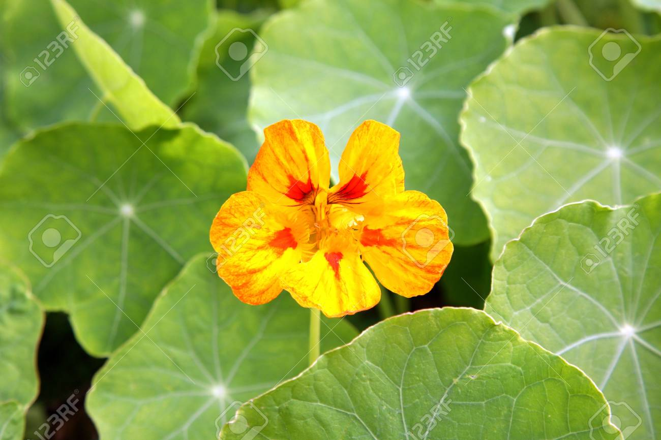 Orange Nasturcium Tropaeolum Flower In Summer Rustic Garden Background Stock Photo