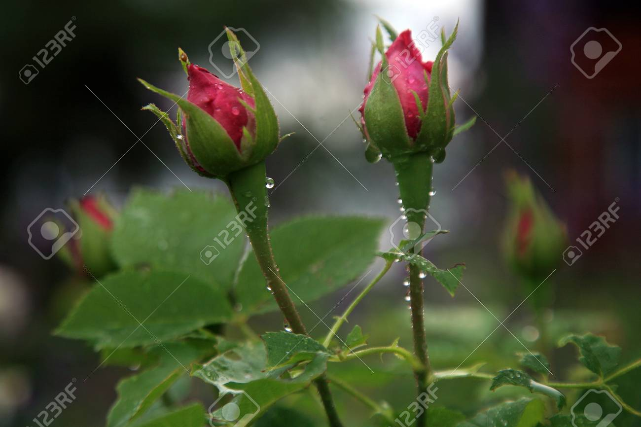 Rose flower during rain petals sprinkled with rain drops a stock rose flower during rain petals sprinkled with rain drops a gloomy day in a altavistaventures Image collections